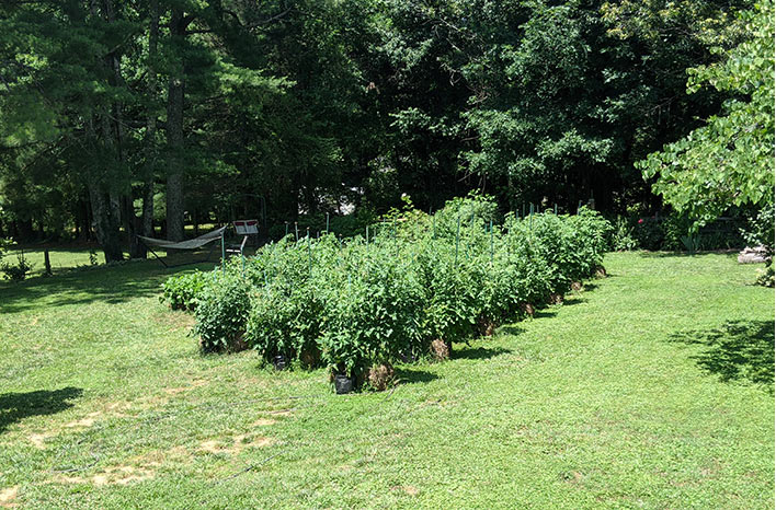 tomato plants in grow bags and straw bales