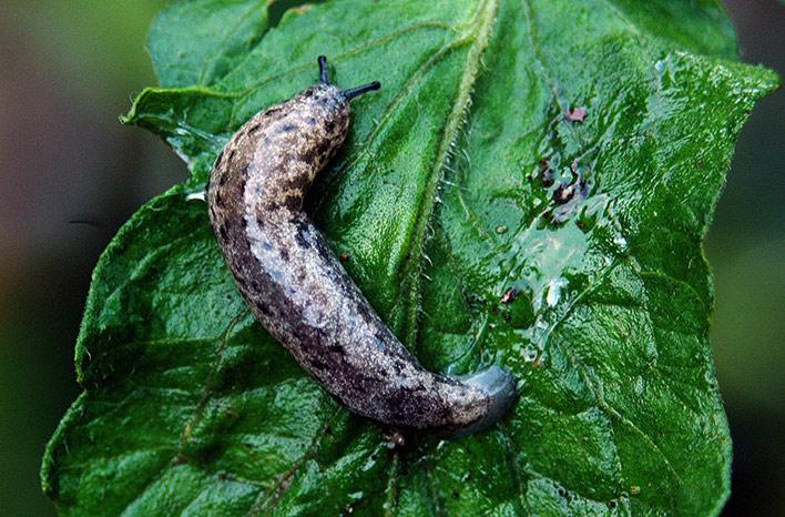 Slugs are common garden pests.