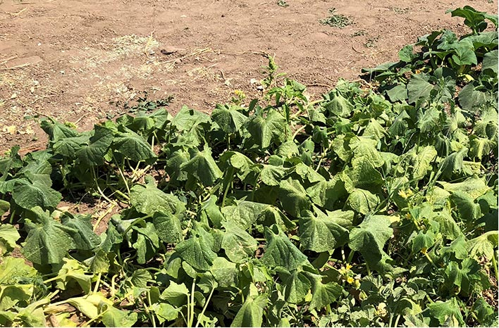Wilting due to squash bugs