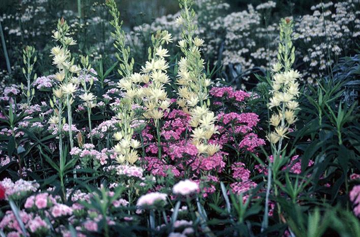 Camassia leichtlinii 'Semiplena' with Dianthus barbatus