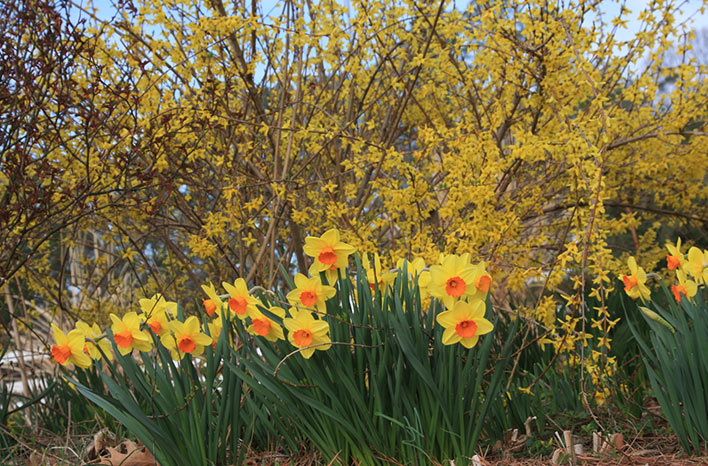 N. 'Monal' blooms early with Forsythia