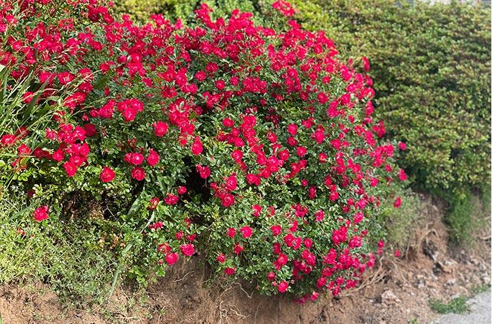 Red Drift Rose spilling over an embankment