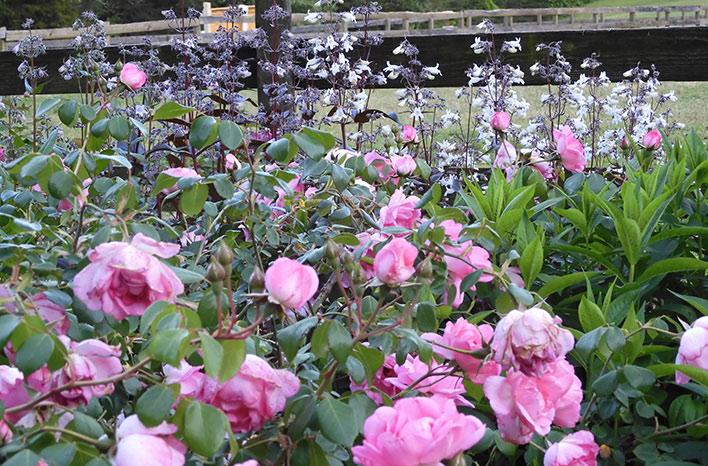 Rose Centenaire de Lourdes
