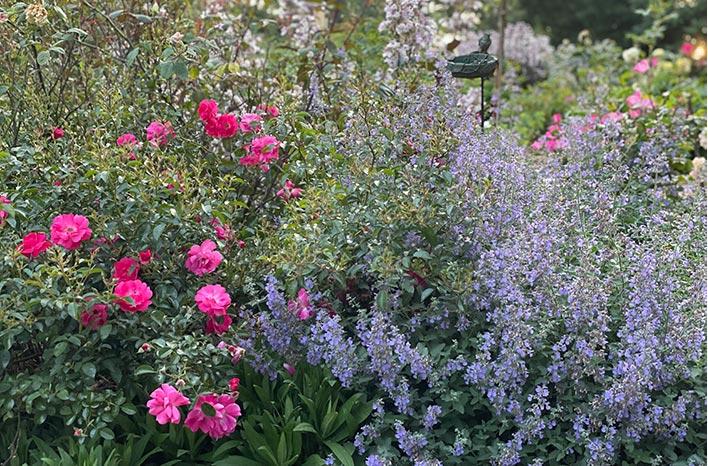 Rose Scarlet Flower Carpet and Nepeta