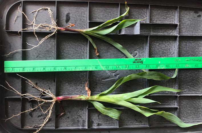 comparing corn roots