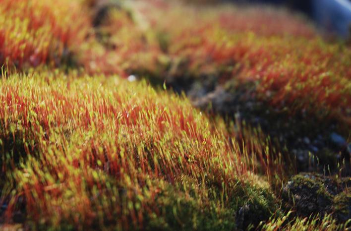 Ceratodon sporophytes