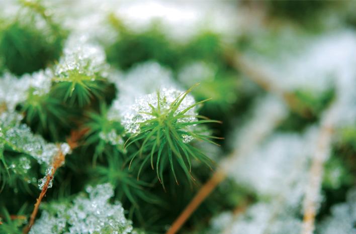 Polytrichum snow