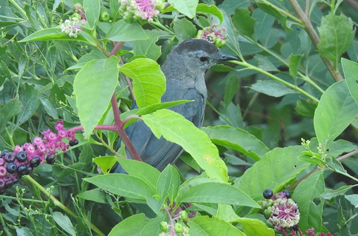 Catbird in pokeweed