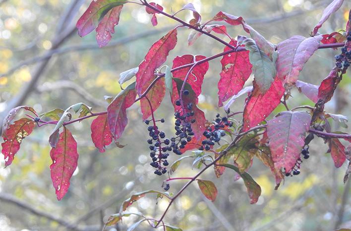 Pokeweed tree