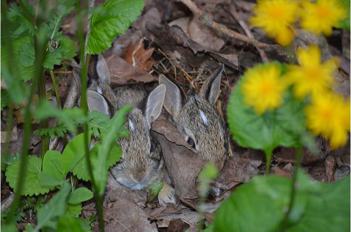 Rabbits in ragwor.