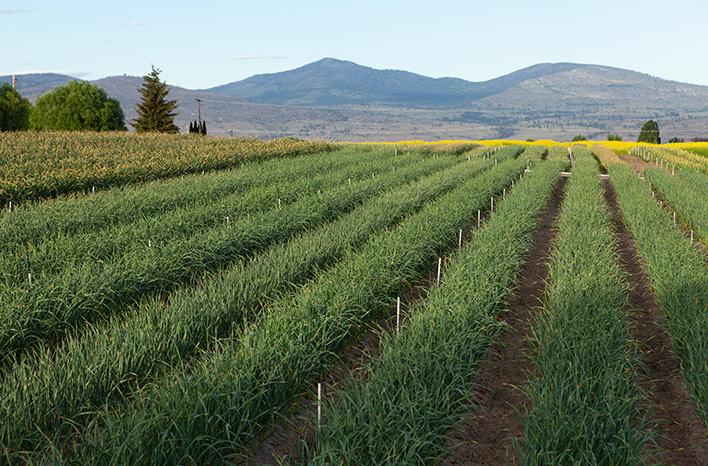 Garlic field