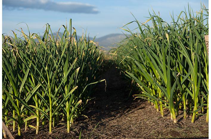 music garlic growing on a farm field