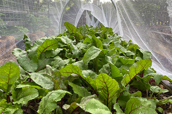 swiss chard under row cover