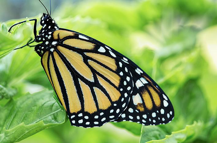 Adult monarch