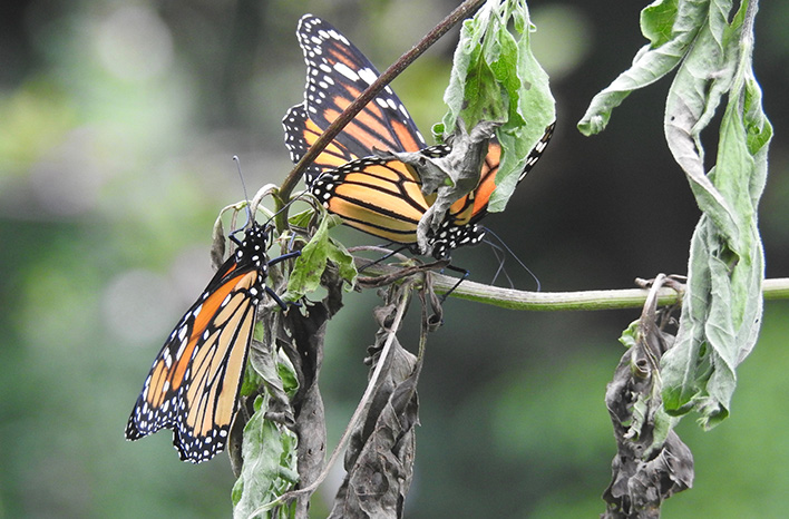 Male and female butterfly