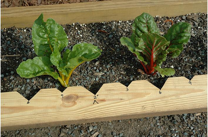 planting board swiss chard