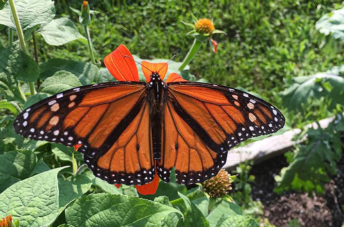 Monarch male scent glands